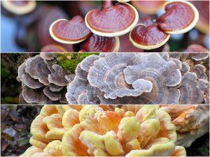 medicinal mushroom supplements